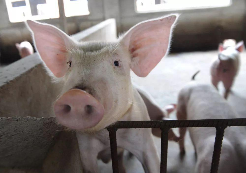 猪价止跌反弹,两地再通报非洲猪瘟疫情!猪价还会涨吗?