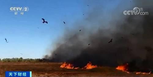 """从2011年到2017年间,鸟类学家鲍勃·戈斯福德做了6年的实地采访和民族志研究,发现澳大利亚猛禽""""纵火""""的确是故意的。在这期间,他记录了"""