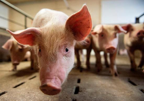 北京时间21日消休,据外媒报道,在新冠疫情导致的需求暴跌使奶农倾倒牛奶这一经典场景在美国上演后,美国各地的鸡场和猪场也开起对他们饲养的鸡和猪实走太平物化。