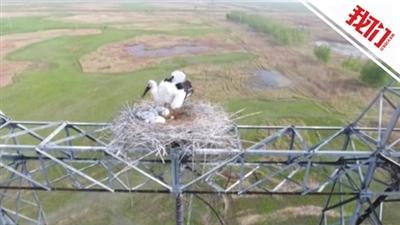 输电塔顶发现东方白鹳巢穴电力员工装护鸟设施-新闻频道-和讯网