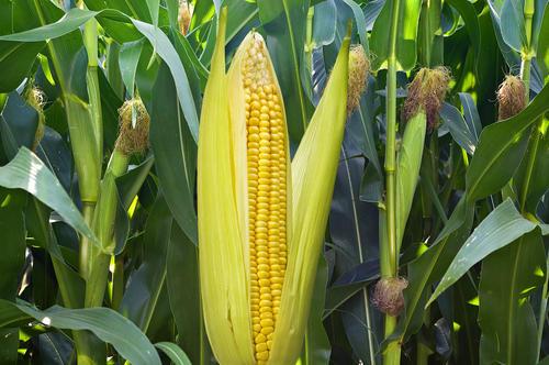 玉米出现回调,短期调整为主