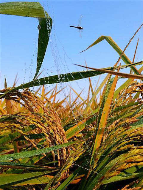 雀巢在原料基地开展保护生物多样性项目助力黑龙江稻田生态平衡