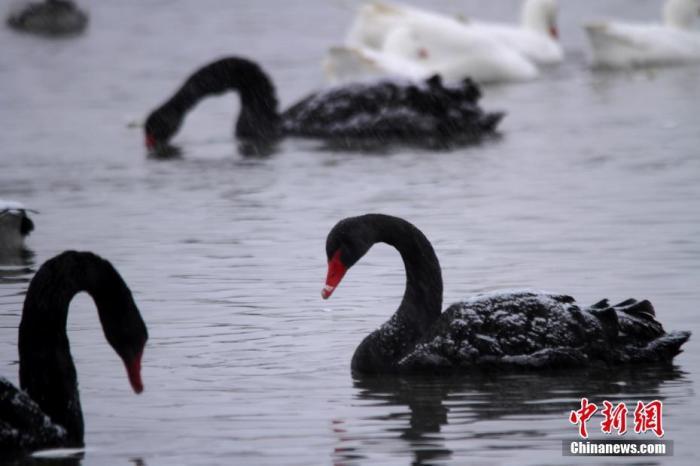 北京圆明园黑天鹅感染禽流感 海淀区:已有效控制