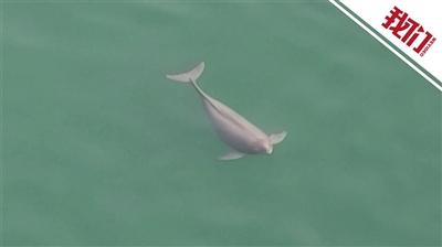 无人机拍到怀孕江豚 不参与捕食游速缓慢
