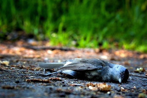 密恐慎入!巴厘岛数百只鸟中毒后从天而降:尸体堆成小山