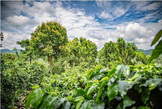 积极保护生物多样性 雀巢咖啡醇香无尽计划在滇大力推广荫蔽树项目
